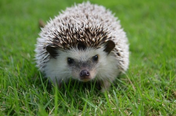 A Brave Hedgehog - HeadStuff.org