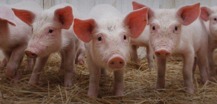Pigs - HeadStuff.org