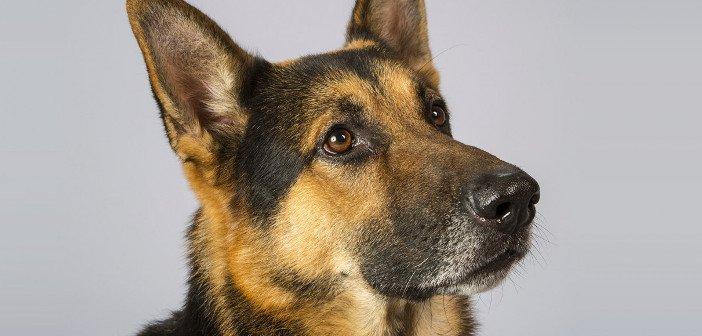 German Shepherd - HeadStuff.org