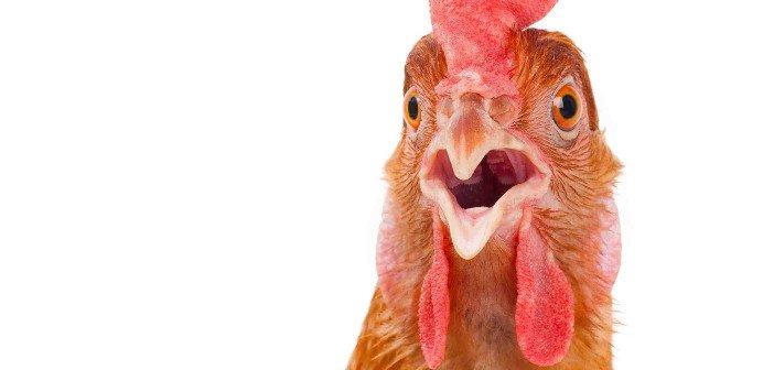 Chicken - HeadStuff.org