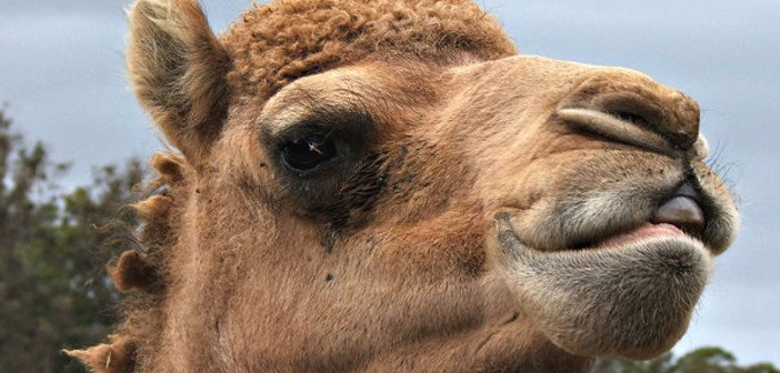Camel's eyebrows - HeadStuff.org
