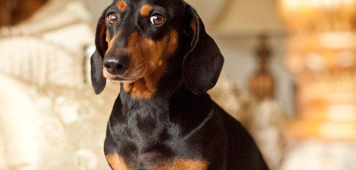 Sausage dog - HeadStuff.org