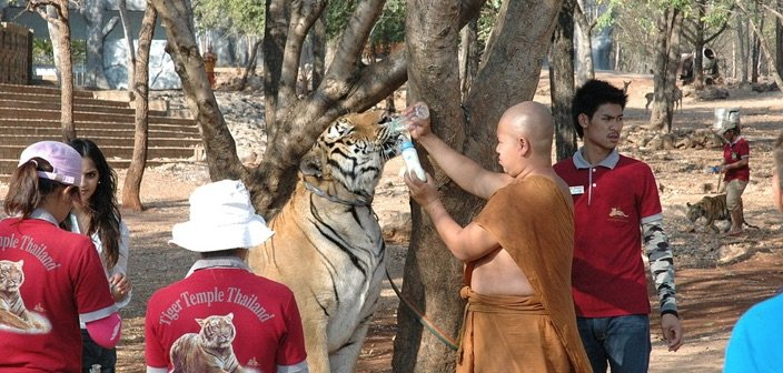 Tigers at tiger temple being fed