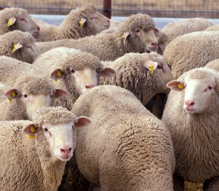 Sheep contrarian popular | HeadStuff.org
