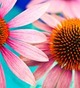 The Evidence for Echinacea, or Lack Thereof