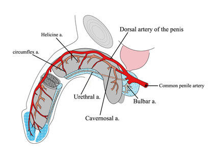 Penile CirculationThrombosed Vein