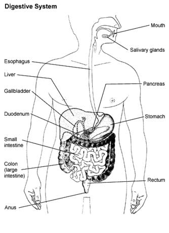 Image Appendix together with Raven Reiki Animal Reiki Lisa Gold Coast as well Alosetron moreover How Does Red Meat Increase Bowel Cancer Risk further Major Forms Of Cancer What Is Cancer. on bowel system