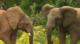 Vidéo - À la recherche des Sept Grands : les éléphants