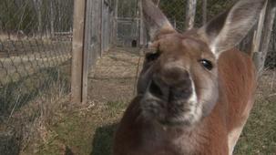 Vidéo - Les animaux - les kangourous