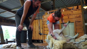 Vidéo - Sheep Shearing (With Alex and MJ)