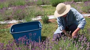 Vidéo - Lavender Essential Oil