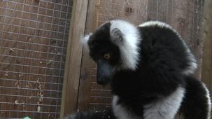 Vidéo - Les animaux - les lémuriens