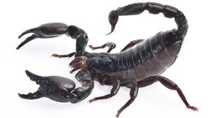 Vidéo - Top 5 sur les scorpions