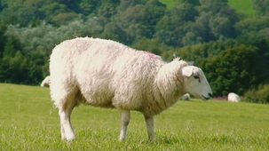 Vidéo - Guess the Animal Sound: Sheep