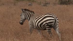 Vidéo - Animals- Zebras