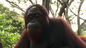 Vidéo - les animaux - les orangs-outans