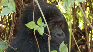 Vidéo - Le animaux - les gorilles