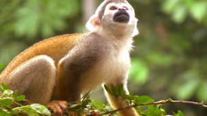 Vidéo - Guess the Animal Sound: Monkey