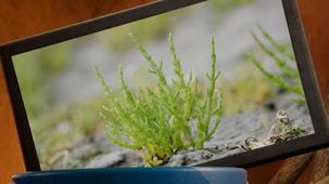 Vidéo - Mission : fruits et légumes - Salicorne aussi salée que la mer