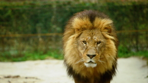 Vidéo - Guess the Animal Sound: Lion