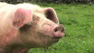 Vidéo - Guess the Animal Sound: Pig