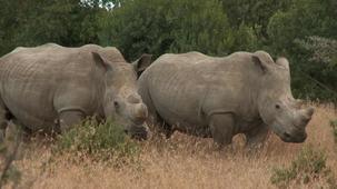 Vidéo - Les animaux - les rhinocéros