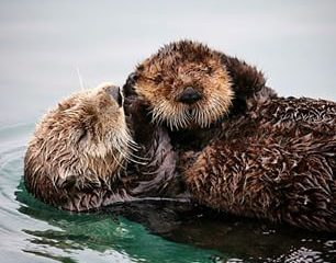 Cute otters hugging in water