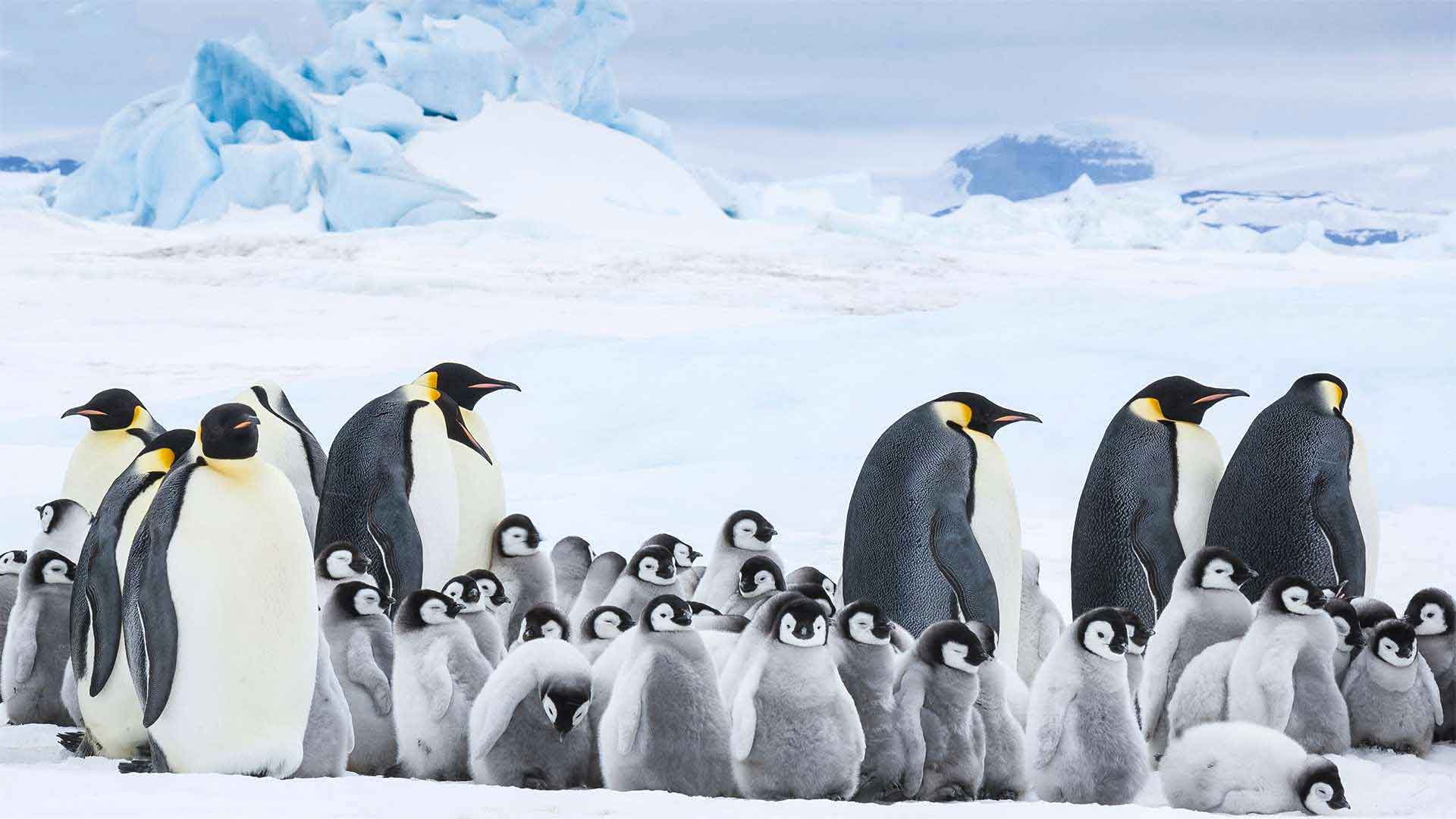 March of the Penguins 2' Takes a Step Back - The Heights