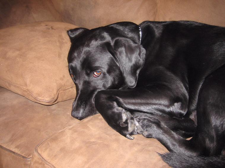 My Black Lab Mason