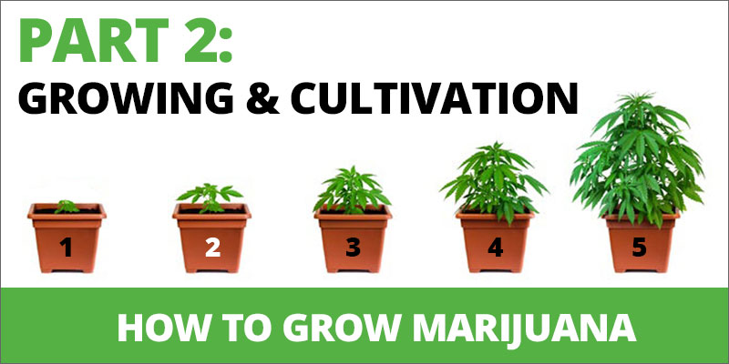 how to grow marijuana growing and cultivation