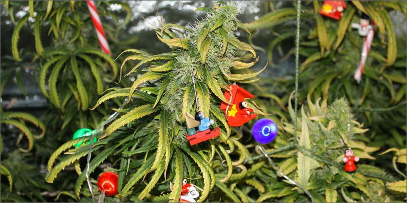 strains for holiday season