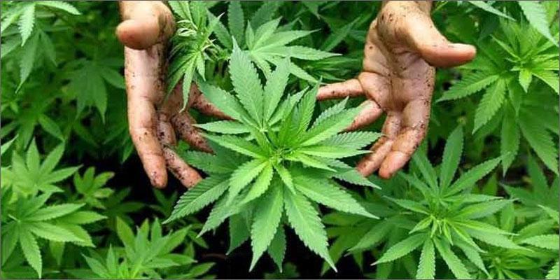 Earth-Friendly Cannabis