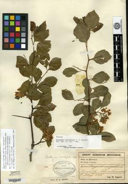 Image of Crataegus acutifolia
