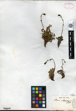 Acaena poeppigiana image