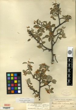 Image of Amelanchier rubescens