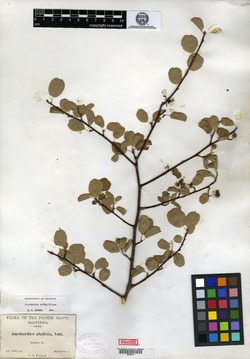 Image of Amelanchier siskiyouensis