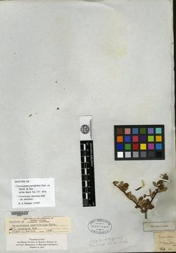 Image of Cercocarpus parvifolius