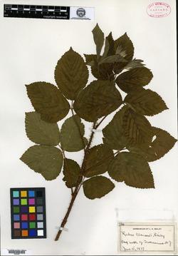 Rubus clausenii image