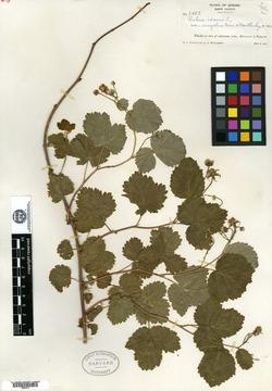 Rubus idaeus var. eucyclus image