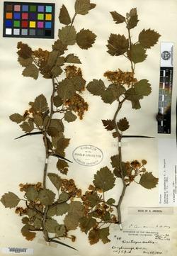 Image of Crataegus canadensis