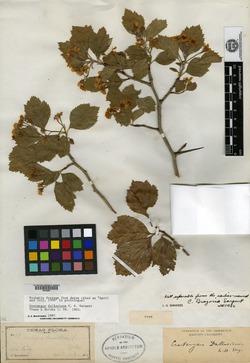 Image of Crataegus dallasiana