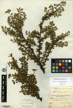 Image of Cotoneaster ascendens