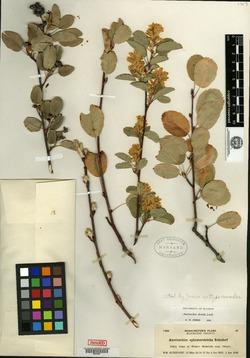 Image of Amelanchier ephemerotricha