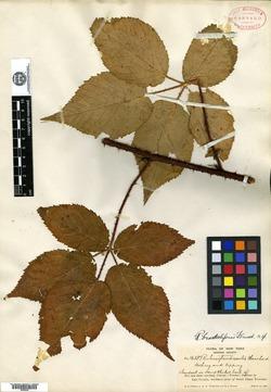 Image of Rubus bracteoliferus