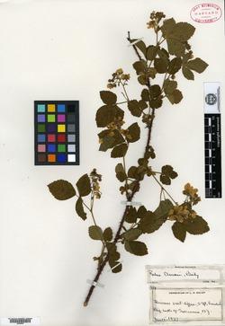 Image of Rubus clausenii