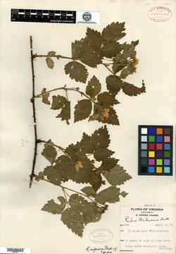 Rubus imperiorum image
