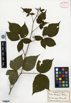 Rubus ithacanus image