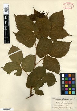 Rubus arundelanus image