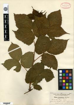 Rubus arundelanus var. jeckylanus image