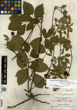 Rubus longipes image